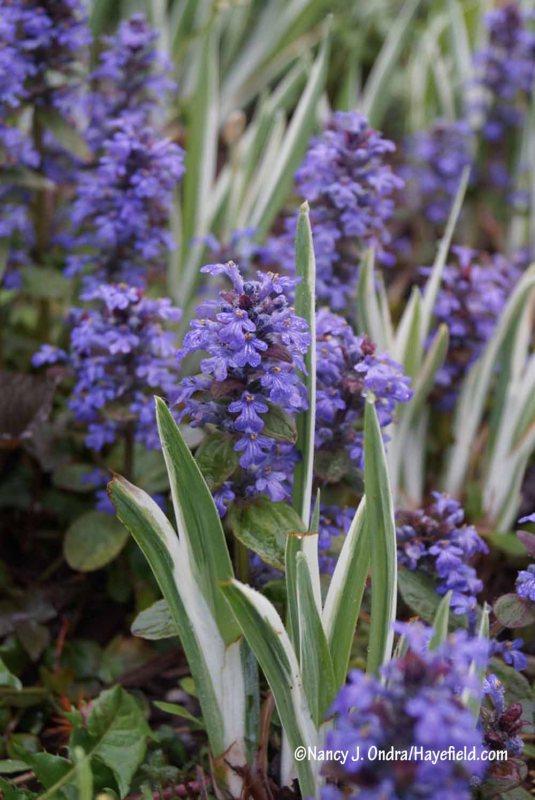 Common ajuga (Ajuga reptans) with variegated Japanese iris (Iris ensata 'Variegata') [Nancy J. Ondra/Hayefield.com]