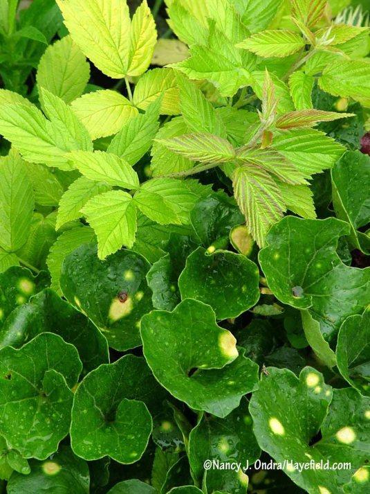Golden raspberry (Rubus idaeus 'Aureus') with leopard plant (Farfugium japonicum 'Aureomaculatum') [Nancy J. Ondra/Hayefield.com]
