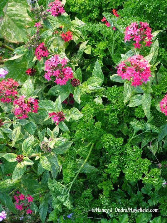 I have to admit that I'm not crazy about red with white or cream, but a plant's gonna do what a plant's gonna do. This is 'Stars and Stripes' starflower (Pentas lanceolata) paired with solid green curly parsley. [Nancy J. Ondra/Hayefield.com]