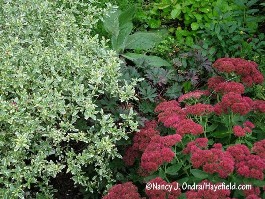 Variegated small-leaf sage (Salvia microphylla 'Variegata') with 'Autumn Joy' stonecrop (Sedum) [Nancy J. Ondra/Hayefield.com]