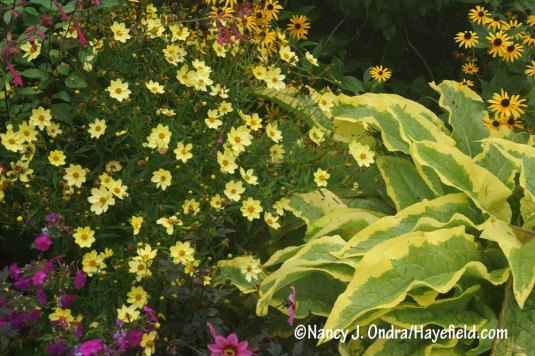 'Full Moon' coreopsis with 'Axminster Gold' Russian comfrey (Symphytum x uplandicum) [Nancy J. Ondra/Hayefield.com]