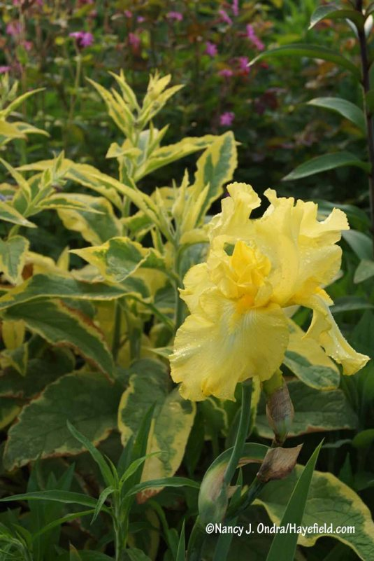 'Axminster Gold' Russian comfrey (Symphytum x uplandicum) with 'Harvest of Memories' bearded iris [Nancy J. Ondra/Hayefield.com]
