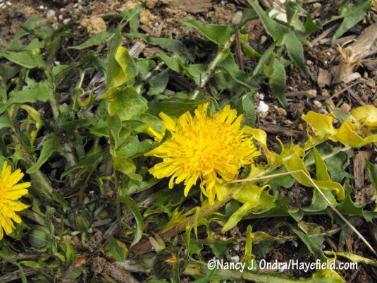 Variegated dandelion (Taraxacum officinale): a multicolor only a collector could love. [Nancy J. Ondra/Hayefield.com]