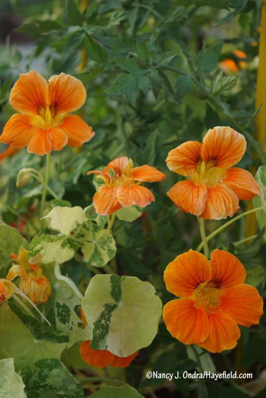 The slightly softer orange blooms of 'Alaska Salmon' nasturtium (Tropaeolum majus) pair nicely with its cream-splashed leaves. [Nancy J. Ondra/Hayefield.com]