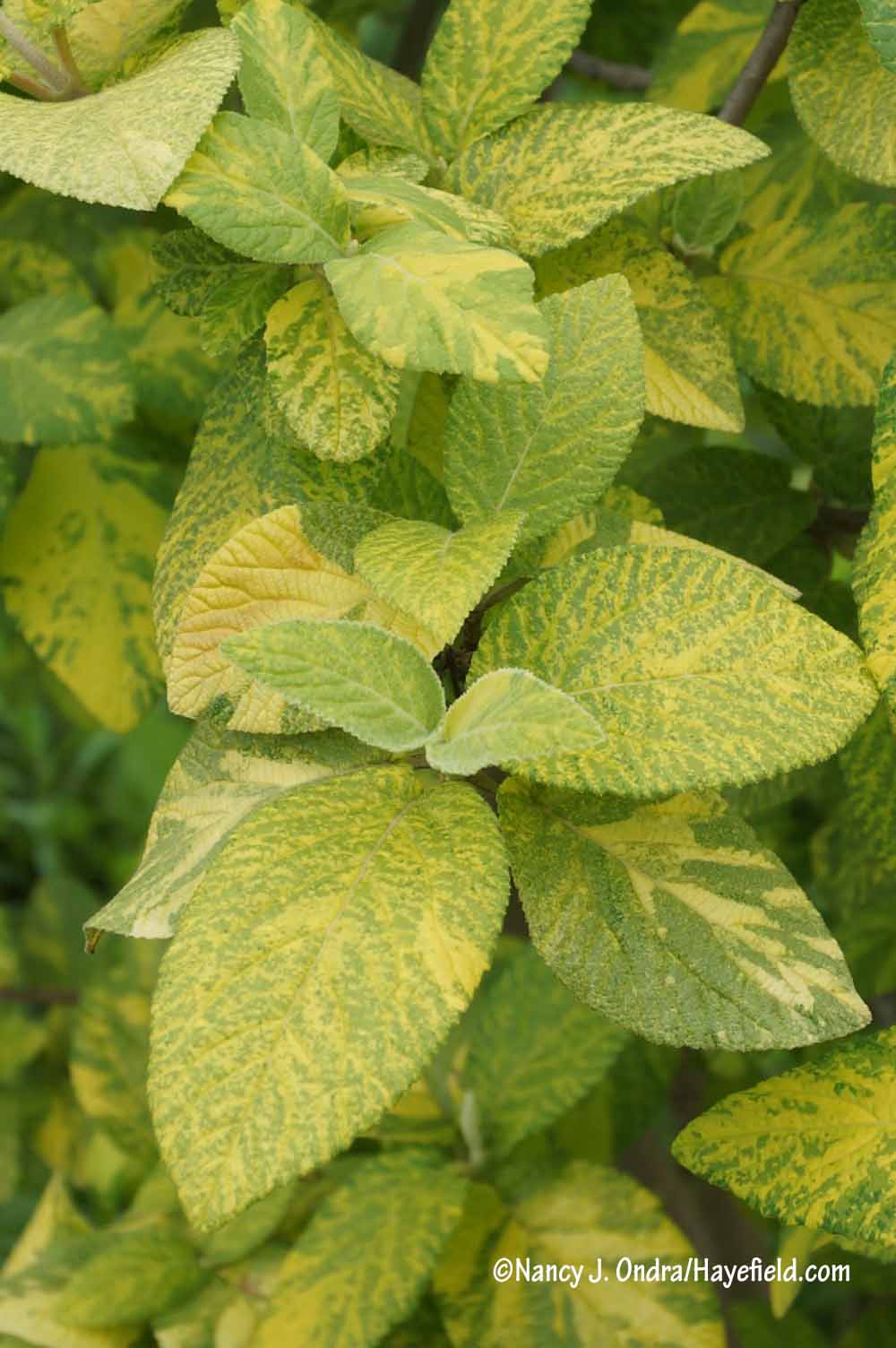 Working With Variegated Plants Hayefield