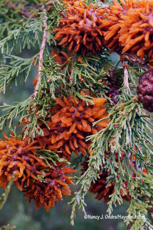 Ok, not flowers, but colorful, at least: the super-abundant galls of cedar-apple rust (Gymnosporangium juniperi-virginianae) during damp weather [Nancy J. Ondra/Hayefield.com]
