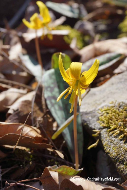 Yellow trout lily or dogtooth violet (Erythronium americanum) [Nancy J. Ondra/Hayefield.com]
