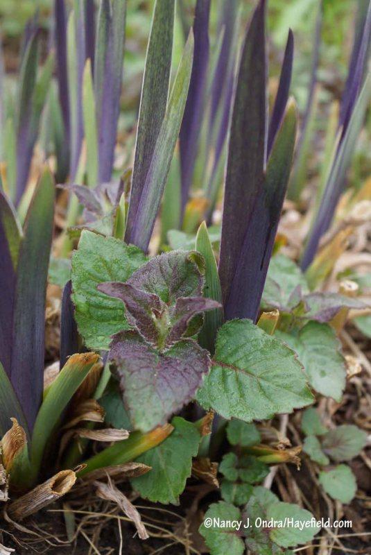 'Raspberry Wine' bee balm (Monarda) with 'Gerald Darby' iris (Iris x robusta) [Nancy J. Ondra/Hayefield.com]