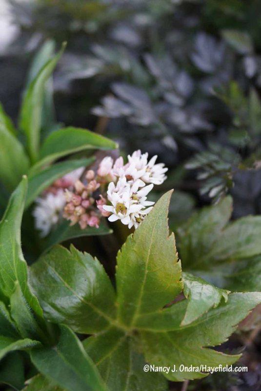 Mukdenia (Mukdenia rossii) [Nancy J. Ondra/Hayefield.com]