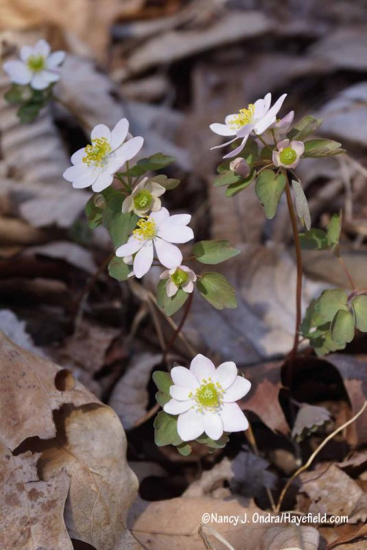 Rue anemone (Thalictrum thalictroides, also known as Anemonella thalictroides) [Nancy J. Ondra/Hayefield.com]