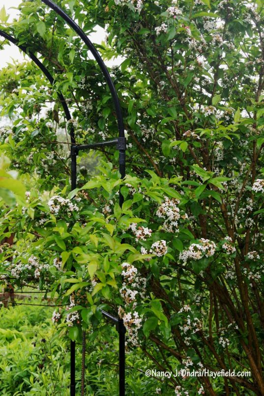 Abelia mosanensis [Nancy J. Ondra/Hayefield.com]
