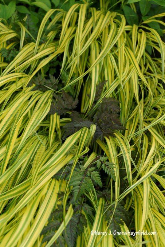 'Ravenswing' cow parsley (Anthriscus sylvestris) with golden Hakone grass (Hakonechloa macra 'Aureola') [Nancy J. Ondra/Hayefield.com]