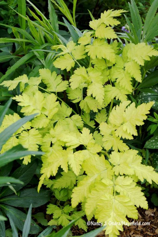 'Golden Fleece' cow parsley (Anthriscus sylvestris) [Nancy J. Ondra/Hayefield.com]