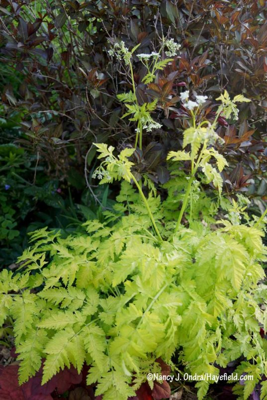 Flowering for the first time here: 'Golden Fleece' cow parsley (Anthriscus sylvestris) [Nancy J. Ondra/Hayefield.com]