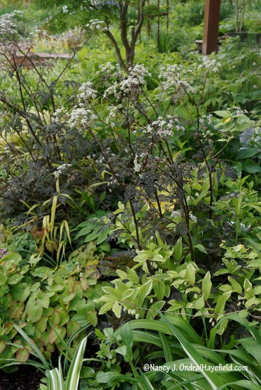 'Ravenswing' cow parsley (Anthriscus sylvestris) [Nancy J. Ondra/Hayefield.com]