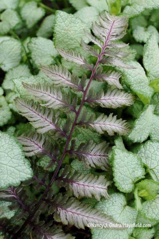 'Pewter Lace' painted fern (Athyrium niponicum var. pictum) with 'White Nancy' spotted deadnettle (Lamium maculatum) [Nancy J. Ondra/Hayefield.com]