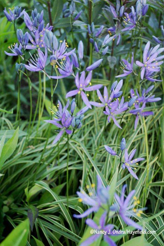 'Blue Melody' camas (Camassia quamash) [Nancy J. Ondra/Hayefield.com]