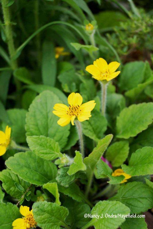 Green-and-gold (Chrysogonum virginianum) [Nancy J. Ondra/Hayefield.com]