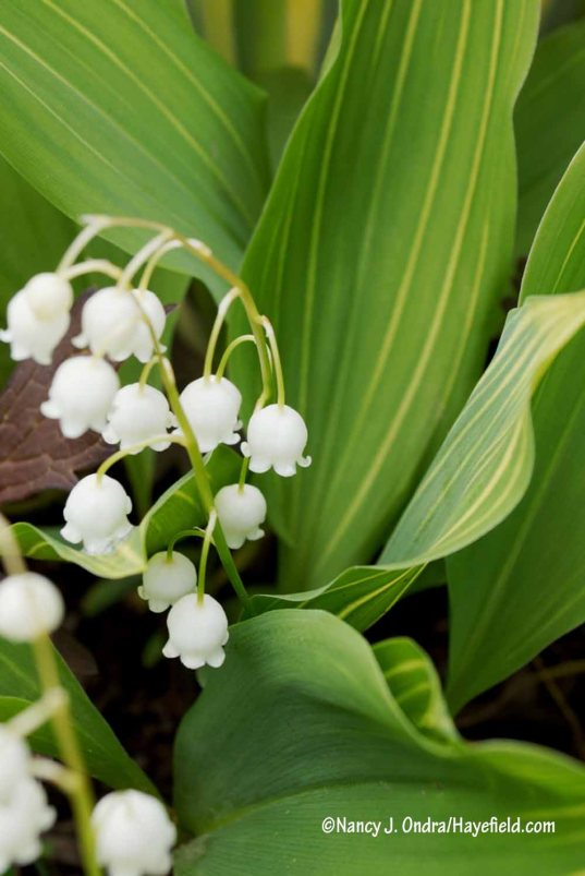 Striped lily-of-the-valley (Convallaria majalis) [Nancy J. Ondra/Hayefield.com]