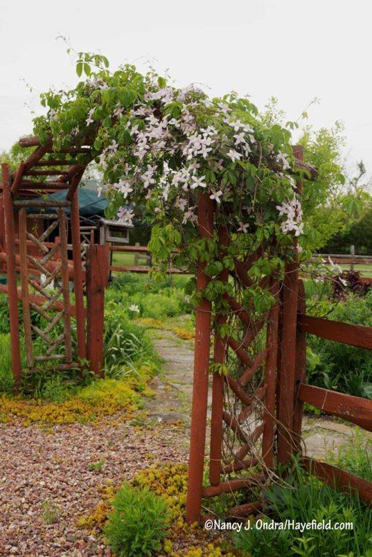 Pink anemone clematis (Clematis montana var. rubra) on old courtyard arbor [Nancy J. Ondra/Hayefield.com]