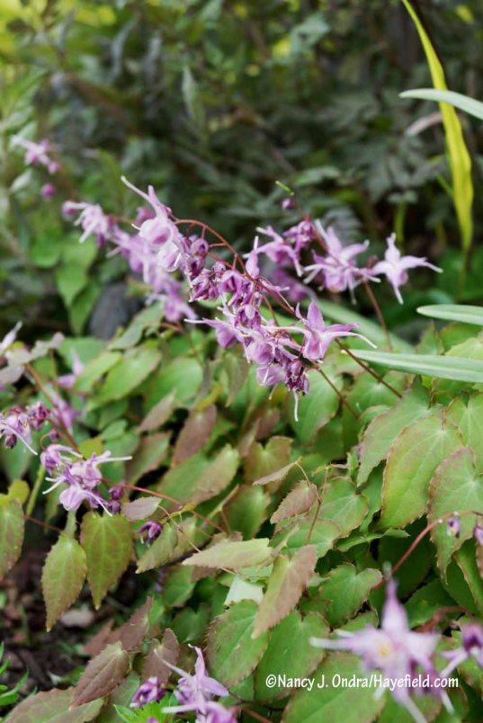 'Lilafee' epimedium (Epimedium grandiflorum) [Nancy J. Ondra/Hayefield.com]
