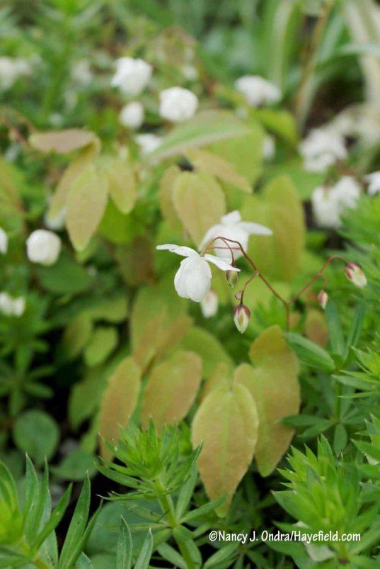 'Niveum' epimedium (Epimedium x youngianum) [Nancy J. Ondra/Hayefield.com]