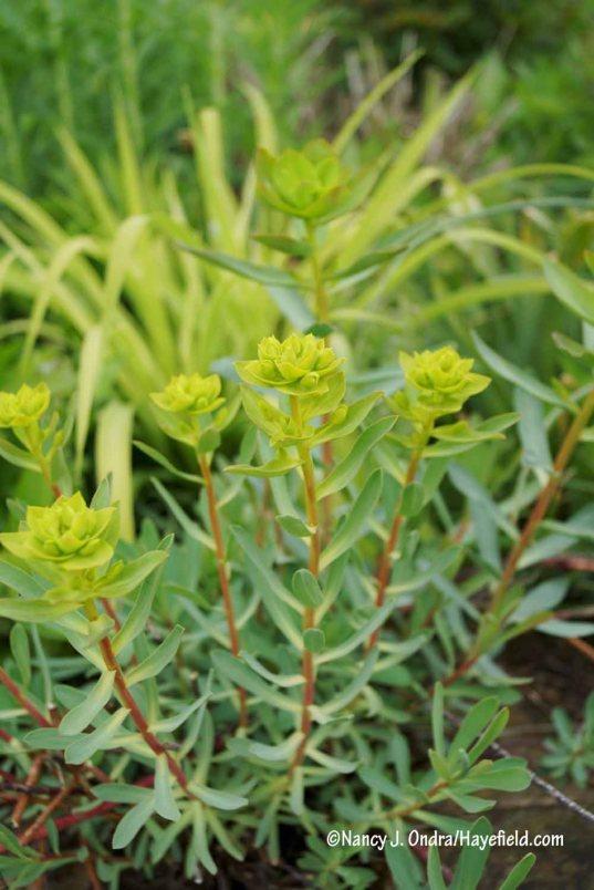 Euphorbia nicaeensis [Nancy J. Ondra/Hayefield.com]