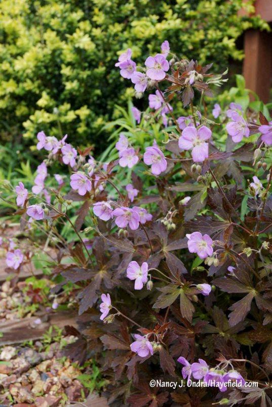 'Espresso' wild geranium (Geranium maculatum) [Nancy J. Ondra/Hayefield.com]