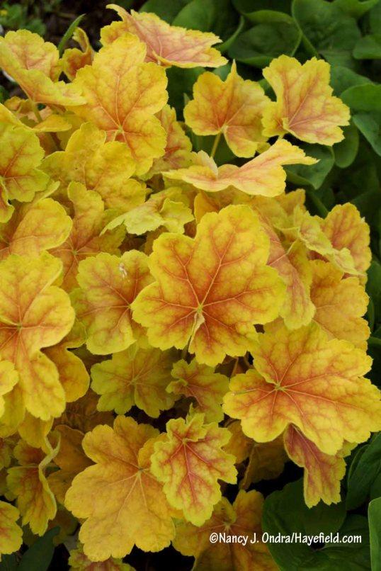 'Tiramisu' heuchera keeps getting better every year! [Nancy J. Ondra/Hayefield.com]