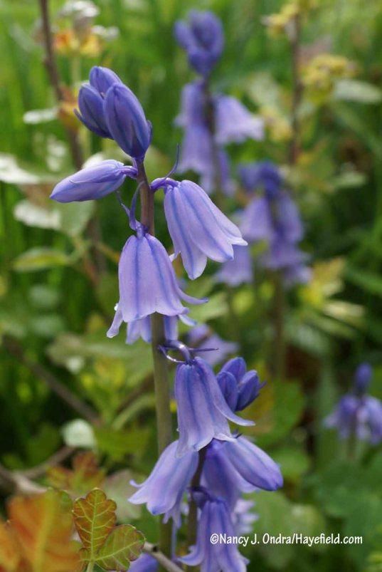 Spanish bluebell (Hyacinthoides hispanica) [Nancy J. Ondra/Hayefield.com]