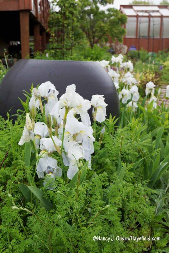 Orris root iris (Iris 'Florentina') [Nancy J. Ondra/Hayefield.com]