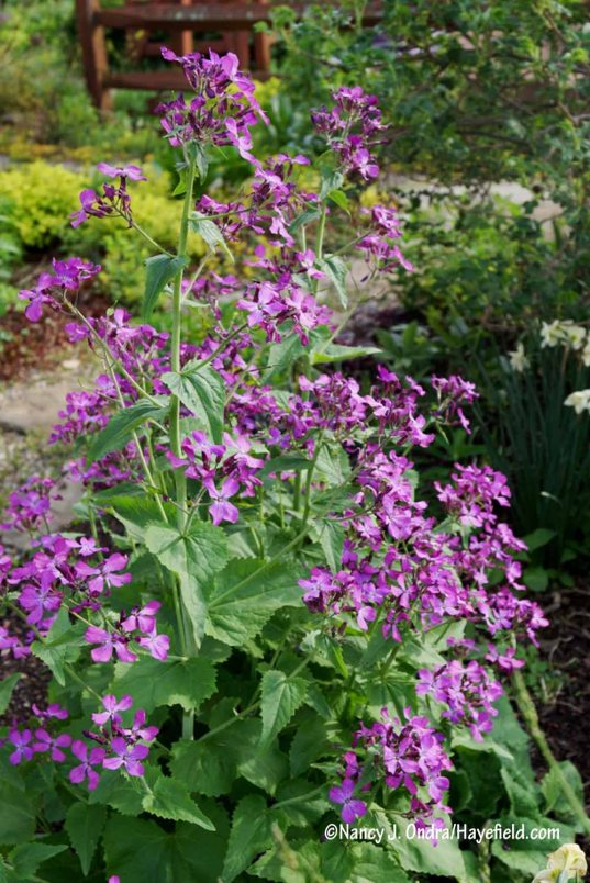 When I last grew 'Pennies in Bronze' honesty (Lunaria annua), I liked the darker purple flowers but wasn't overly impressed with the plant in general. I had the same feeling this spring, when some of its self-sown offspring reached flowering size. [Nancy J. Ondra/Hayefield.com]