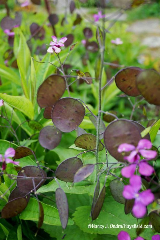 But yum, look at the seedpods of 'Pennies in Bronze' honesty (Lunaria annua) this year. I don't recall them looking that dark last time. Maybe it's because it has been so cool the past two weeks. Whatever the reason, I will definitely aim to keep the strain going here. [Nancy J. Ondra/Hayefield.com]