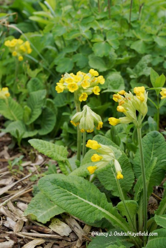 Seed-grown cowslips (Primula veris)--part of my ongoing effort to get more spring color--finally flowering for the first time. [Nancy J. Ondra/Hayefield.com]