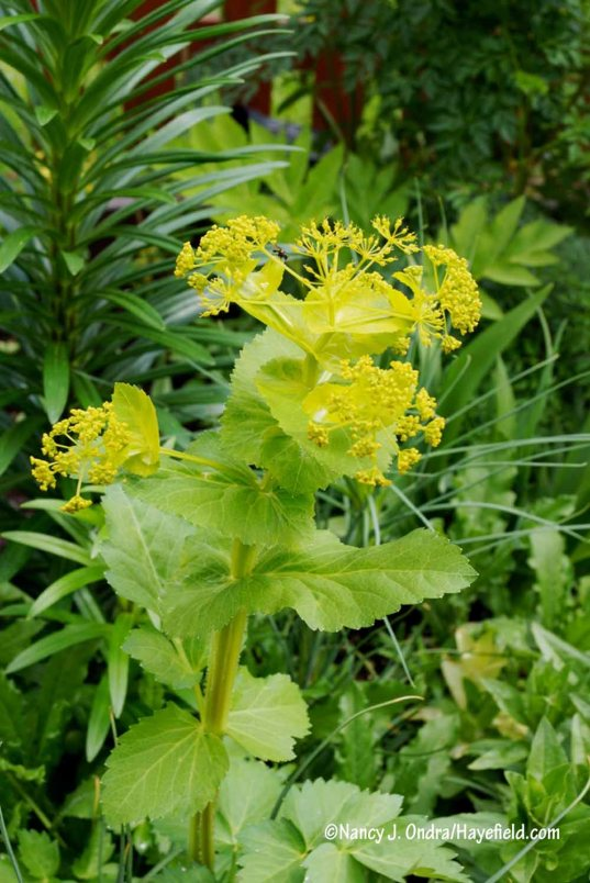 Perfoliate Alexander (Smyrnium perfoliatum) [Nancy J. Ondra/Hayefield.com]
