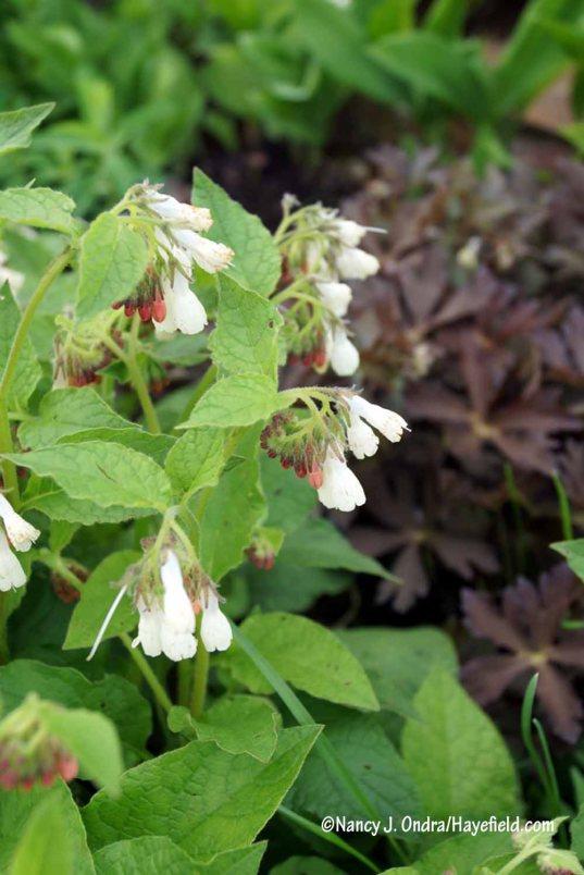 Dwarf comfrey (Symphytum grandiflorum) [Nancy J. Ondra/Hayefield.com]