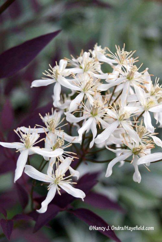 Serious Black bush clematis (Clematis recta 'Lime Close') [Nancy J. Ondra/Hayefield.com]