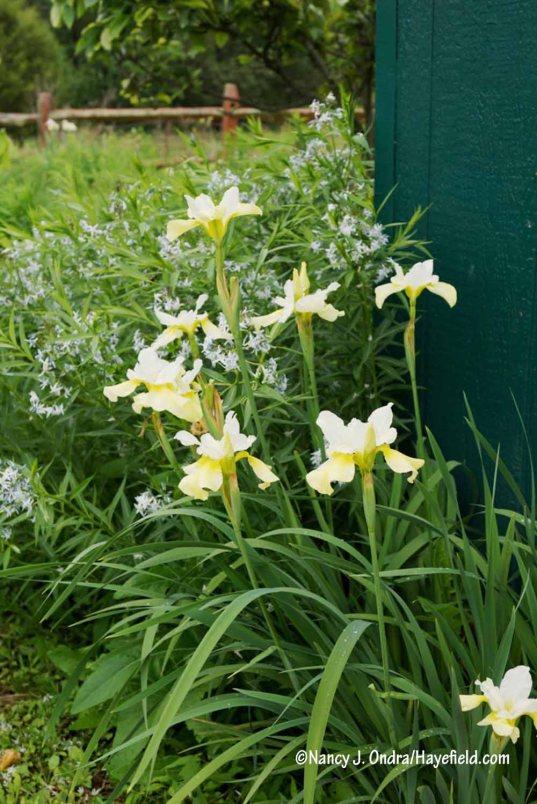 'Butter and Sugar' Siberian iris (Iris sibirica) with Willow-leaved bluestar (Amsonia tabernaemontana) [Nancy J. Ondra/Hayefield.com]