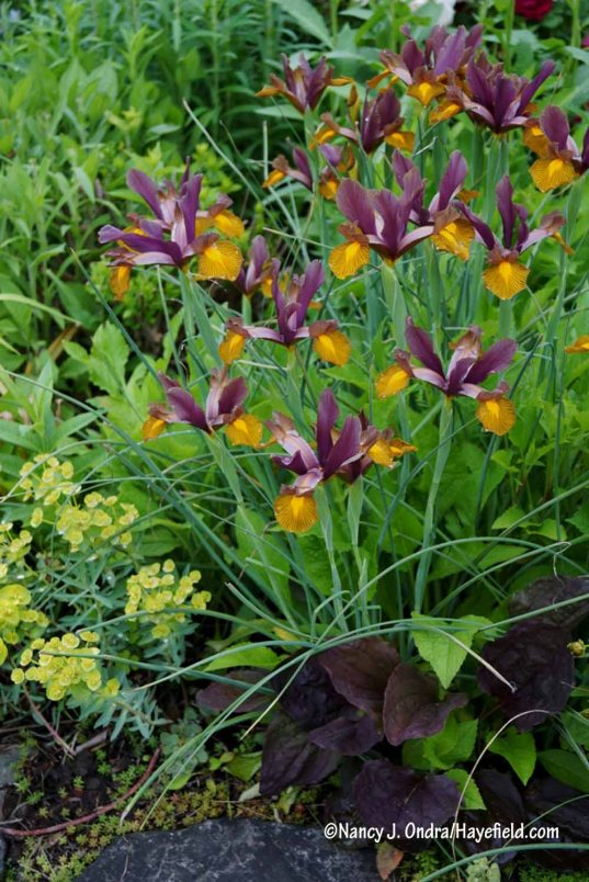 Dutch iris 'Lion King' with purple-leaved plantain (Plantago major 'Atropurpurea') and Euphorbia nicaeensis [Nancy J. Ondra/Hayefield.com]