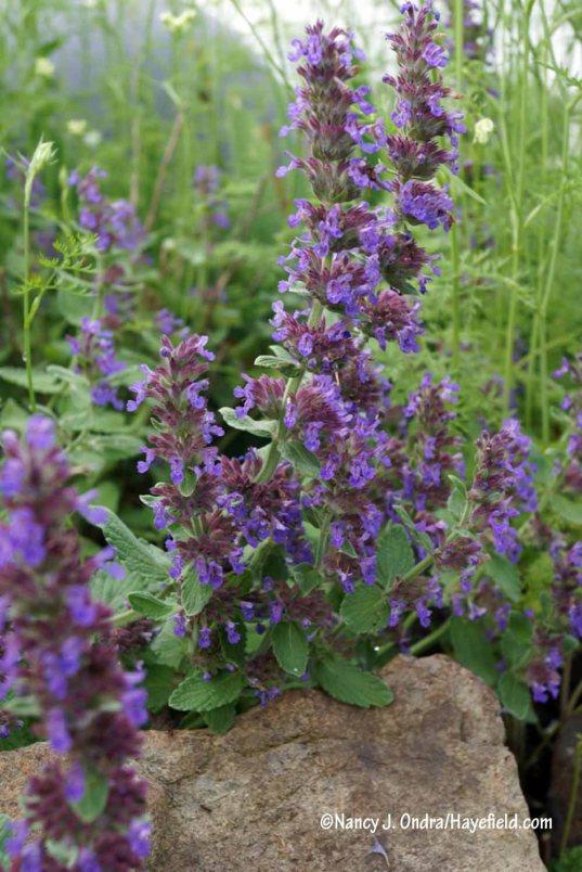'Purple Haze' catmint (Nepeta) [Nancy J. Ondra/Hayefield.com]