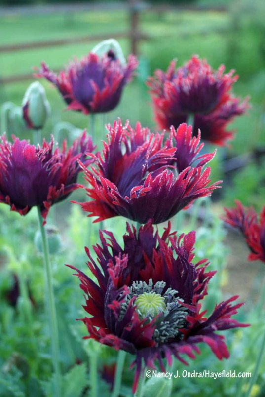 Just look at that lovely fringe (Papaver 'Drama Queen') [Nancy J. Ondra/Hayefield.com]