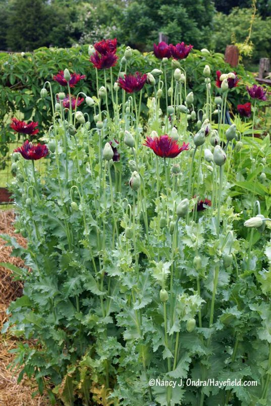 I find that annual poppies that self-sow always are more vigorous than those I try to start. But wow, this patch of 'Drama Queen' really outdid itself. [Nancy J. Ondra/Hayefield.com]