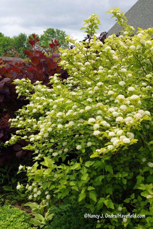 'Dart's Gold' ninebark (Physocarpus opulifolius) [Nancy J. Ondra/Hayefield.com]