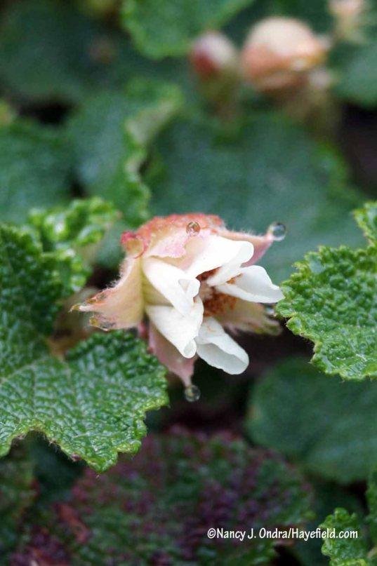 Creeping bramble (Rubus pentalobus, aka R. calycinoides) [Nancy J. Ondra/Hayefield.com]