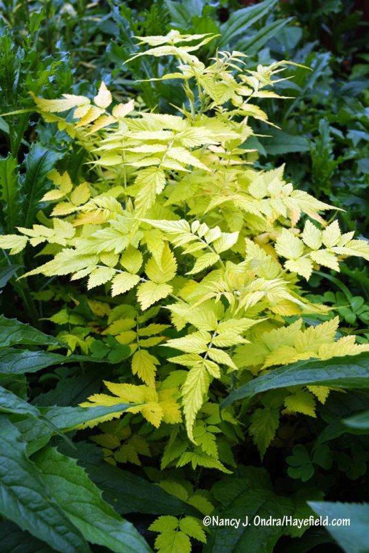 'Goldenvale' ghost bramble (Rubus cockburnianus; aka 'Golden Vale' or 'Aureus') [Nancy J. Ondra/Hayefield.com]