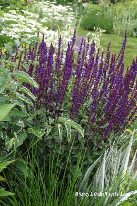 'Caradonna' perennial sage (Salvia) with 'Dali Marble' burnet (Sanguisorba) and white-variegated sweet iris (Iris pallida 'Argentea Variegata') [Nancy J. Ondra/Hayefield.com]