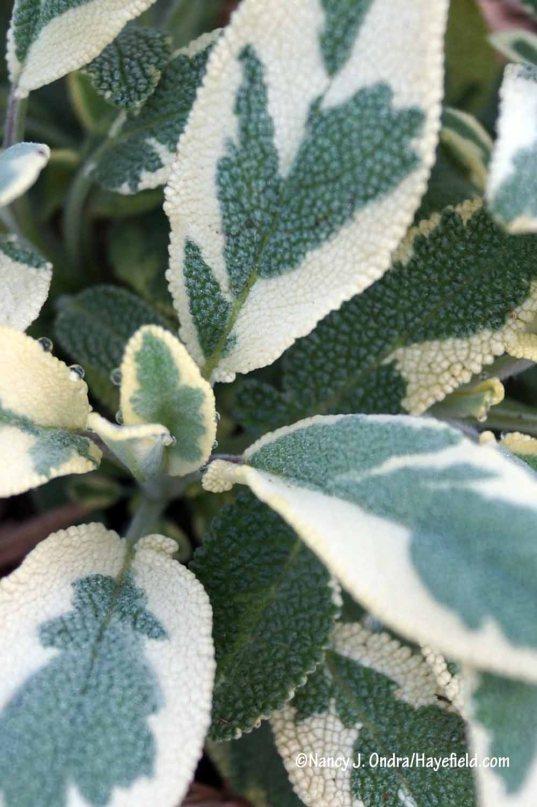 'Berggarten Variegated' culinary sage (Salvia officinalis) [Nancy J. Ondra/Hayefield.com]