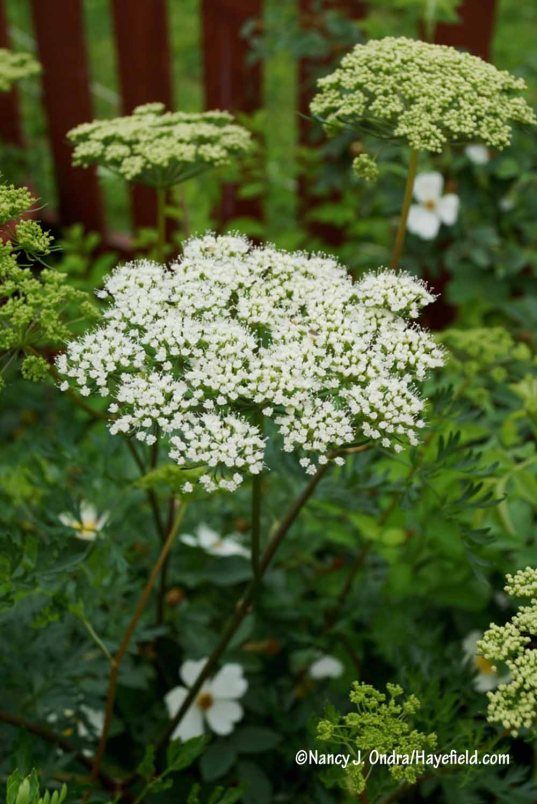 Yet another first-time bloomer, this one grown from seed shared by Rossana Raballo of Vivaio Millefoglie: Cambridge milk parsley (Selinum carvifolium, aka S. carvifolia) [Nancy J. Ondra/Hayefield.com]