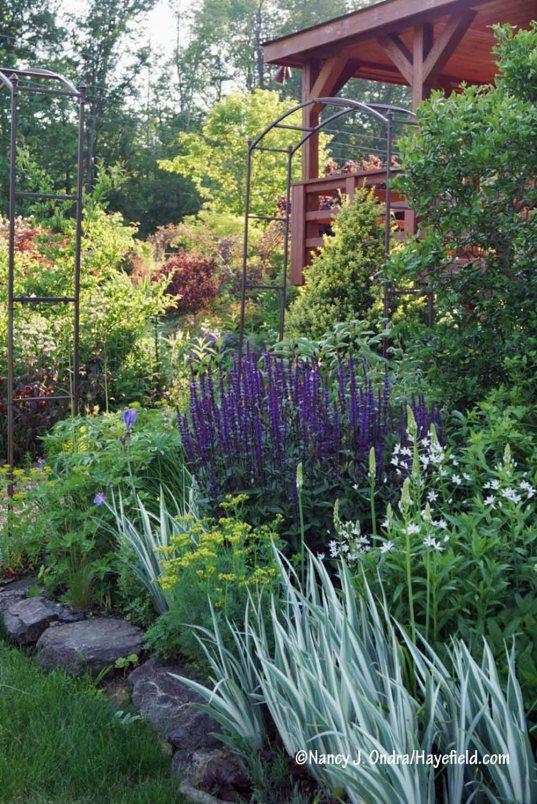 'Caradonna' perennial sage (Salvia), giant starflower (Ornithogalum magnum), white-variegated sweet iris (Iris pallida 'Argentea Variegata'), and rue (Ruta graveolens) in the Side Garden [Nancy J. Ondra/Hayefield.com]