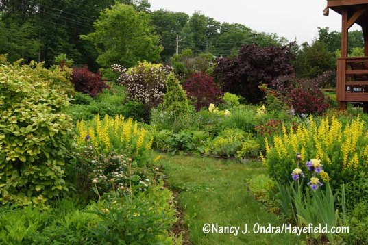 'Screaming Yellow' false indigo (Baptisia sphaerocarpa) in the yellow side of the Side Garden [Nancy J. Ondra/Hayefield.com]